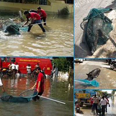 Blue Cross of India Animal rescue during Chennai floods